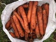 Морковь стандартная тупаносая
