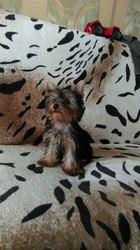 Продаётся самый красивый и милый щенок Йоркширского Терьера